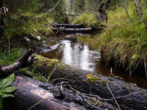 Tvärån-Piktjärns naturreservat i västra delen av Krokoms kommun har ett flertal bäckar med sumpskog och frodig örtvegetation. De ornitologiska värdena bedöms som höga vilket anses gynna ett flertal arter, främst järpe och olika hackspettar. Foto: Göran Eriksson