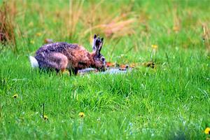 Jan Togelid fångade en bild på en hare.