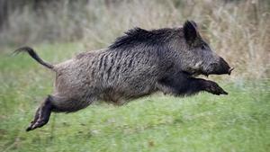 Vildsvinen förstör för jord- och skogsbrukare – utfodringen måste regleras