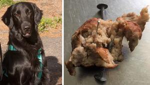 Veronica Johansson och hunden Santos gjorde en otäck upptäckt. Köttbullen Santos tog i munnen visade sig vara fylld med nål och spik.
