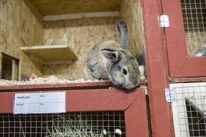 Kaniner i kaninburar. Ett exempel på djurhållning.