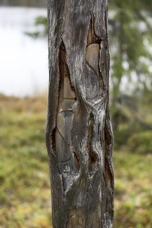 Historiens vingslag, inristade i en gammal tall i Vändåtbergets Naturreservat.