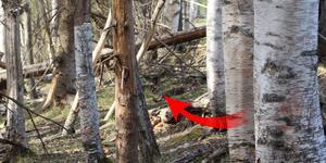 Bild på en hjortkalv som ligger gömd i skogen.  Man ser öronen sticka upp och de vita prickarna på ryggen om man tittat noga. Läsarbild: Sara-Britta Edlund