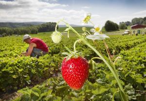 Lant- och skogsbruket – med bärodlare, grönsaksföretag och planteringar – behöver utländsk arbetskraft under säsong. Foto: Gorm Kallestad/TT