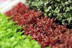 Miniodlingar ger fräsch grönska under vintern.Foto: Adobe Stock