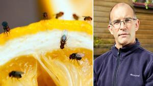 Många hem invaderas av bananflugor under sensommaren.Bild: Anticimex