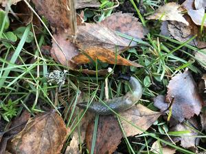 En ny snigelart har hittats i länet - den svarthuvade snigeln från Kaukasus. Nu vill Länsstyrelsen har in rapporter om du upptäcker den. Foto: Länsstyrelsen