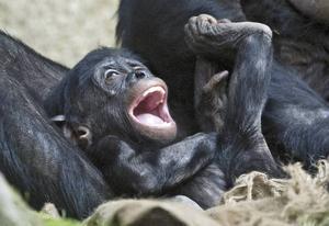Bonoboungen Yaro på Leipzigs Zoo kommer att växa upp i en kultur som är empatisk och fredlig. Något liknande den som de första människorna levde i, enligt Lasse Berg.
