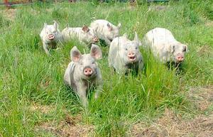 Glada grisar utsäppta på vårbete .Käĺlängens Gård, Hensvik. Foto: Hans Andersson