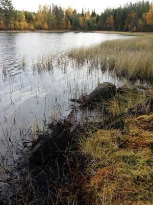 I Trehörningen utanför Sidensjö hittade för två veckor sedan Georg Selling från Myre stockbåten.