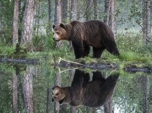 Björnen kom så nära som åtta meter från gömslet. Bild: Håkan Karlsson