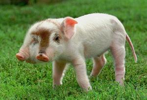 En tvåhövdad gris vid namn Rudy i USA.