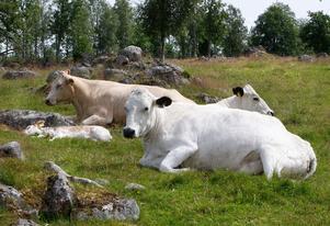 På Håensdagen kan barnen hjälpa till inkallningen av kor och kalvar.