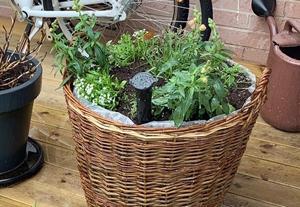 Före sommaren var plantorna betydligt mindre. Foto: Jenny Björklund