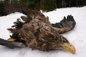 Havsörnsgruppen i Gävleborg anser att Banverket måste bli snabbare på att städa undan påkörda älgar på järnvägsspåren. Havsörnarna kalasar gärna på älgkadavren och riskerar då, som den här fågeln, att bli dödade av tågen.