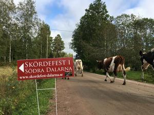 Korna strosade fram längs vägen när det bjöds in till skördefest.