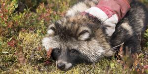 Fotograf: Leif Wikberg. Mårdhunden är en invasiv art som kan röra sig upp till 400 kilometer på några månader