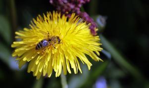 Naturskyddsföreningen förklarar varför slåtterängar är livsviktiga för bin och andra pollinerande insekter. Foto: Matthias Schrader
