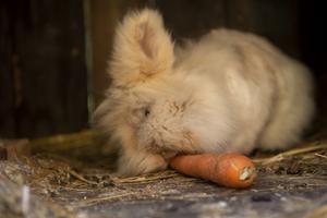 Kaninen Lea tuggar förnöjt på en morot.
