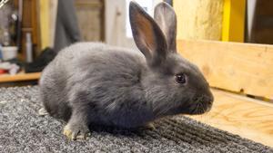 En kanin av rasen Lilla blå wiener och härstammar från Wien.