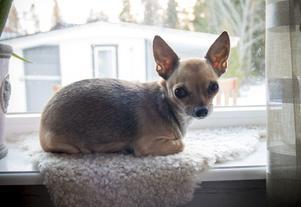 Chihuahuan Lexie föddes samma dag som Alexander dog. Jessica såg annonsen på Blocket och bestämde sig direkt: