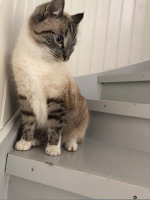 151) Våran älskade Figaro. Världens finaste lilla sockernos... Foto: Margaretha Modin