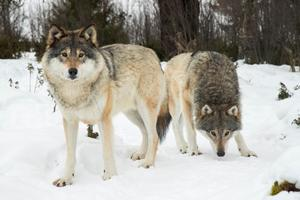 Koncentrationen av varg har blivit för hög på vissa håll. Därför har Naturvårdsverket bestämt att tio vargar ska tillåtas i Jämtlands län.  Foto: Heiko Junge