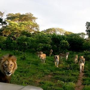 Lejonflocken som bor i
