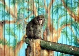 Den här apan, en snömakak och hans två kompisar, är de sista djuren som finns kvar på djurparken. De ska hämtas inom kort och kommer att hamna hos en djurrättsorganisation i Holland.