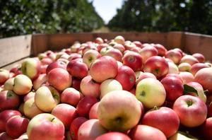 Nu är tid för äppelskörd. Foto: Johan Nilsson / TT