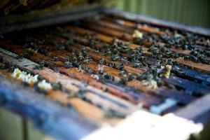 Full aktivitet är det i kupan – flera faktorer styr när bina är ute och pollinerar.
