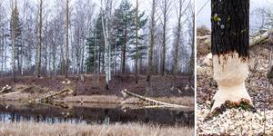 Ett tiotal grova aspar har fälts utmed Horneån.