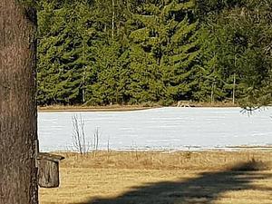 Bild på vargen som enligt uppgifter ska ha hållit till i Mo i Ockelbo en längre tid. Bild: Privat