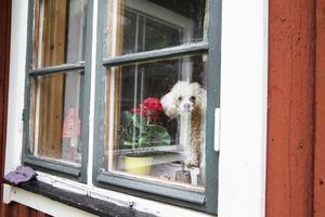 Hunden Nicki tittar ut genom fönstret och håller koll.