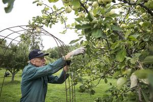 """""""Vartannat år brukar skörden bli god"""" säger Olle Ridelius och konstaterar att i år är tillgången på äpplen ovanligt riklig."""