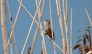 Kärrsångaren kan härma flera hundra andra fågelarter. Det kan ta upp till 40 minuter innan den sjungit igenom hela sin repertoar.