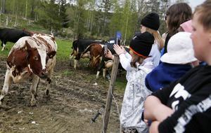 Det rådde ömsesidig nyfikenhet mellan kor och besökare på Svedja gård i Gevåg där det på söndagen hölls betessläpp för de 60-tal mjölkkor som finns där.