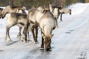 Renar på vägen mellan Lillhärdal och Älvdalen.