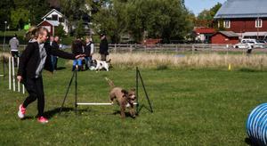 Hoppar för att hjälpa hundkompisarna i Thailand. Joker, spansk vattenhund, kör agility på Kungsbyn vid ett stödevent för gatuhundar i Thailand. Matte Pernilla Botold, Skultuna, instruerar.