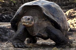 Jättesköldpaddan kan man få syn på vid Galapagos.