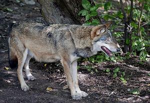 Sedan 1997 har ett 70-tal vargar försvunnit från området.