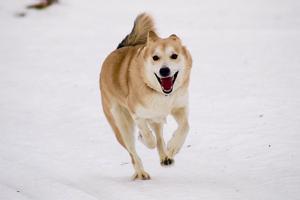 En av hundarna som bidrar till att Härjedalen är hundtätast i Sverige.