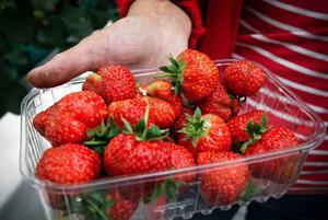 Reda Seskeviciene, som ansvarar för växthusodlingarna, visar plantorna som redan efter 60 dagar gett bär.Lagom till Mors dag skördades de första jordgubbarna.