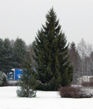 Hittills i vinter har årets julgran överlevt alla sabotageförsök.