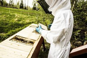 Röken används för att lugna ned bina, men i princip är de väldigt snälla bin.