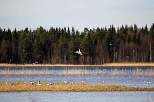 Våren har kommit och Lillsjön formligen sprudlar av fågelliv. Men under ytan är det sämre ställt.