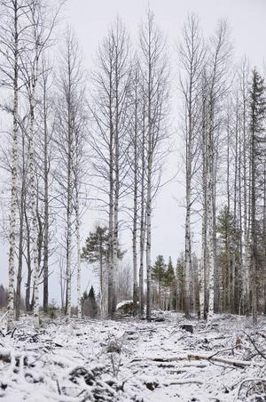 Asp är ett trädslag som inte har värderats särskilt högt genom åren. Men i dag vet man att runt 300 olika arter är beroende av aspen som här omges av bland annat glasbjörk.
