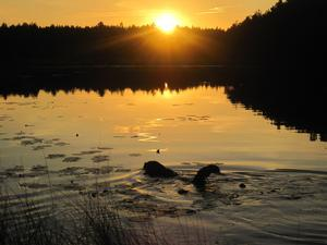 Det blev en mycket efterlängtad och svalkande kvällsdopp för hunden Vincent på en varm augustikväll i Harsjön.