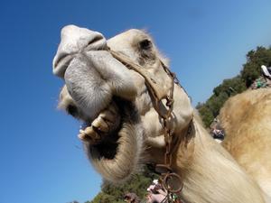 Kul grabben! Dra det där skämtet om kamelen igen.
