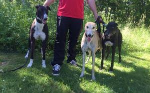 TNT I am dynamite, Ellie och Razldazl Archie deltog i hundkapplöpningstävlingarna i Järbo.